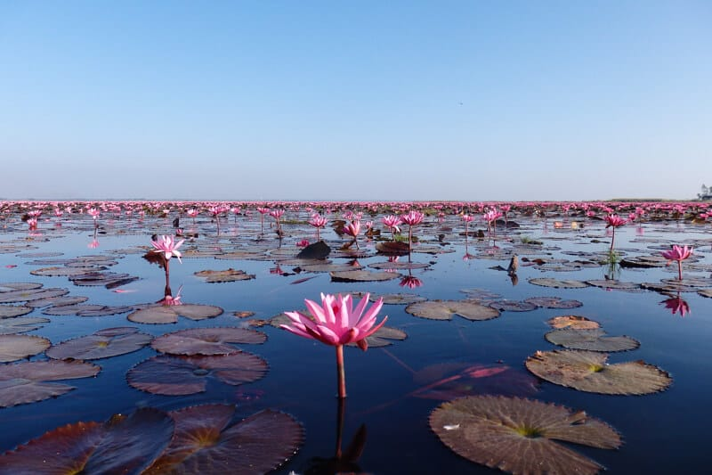 The Red Lotus Sea - Thailand